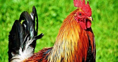 Mơ thấy gà – Giải mã con số của giấc mơ thấy gà