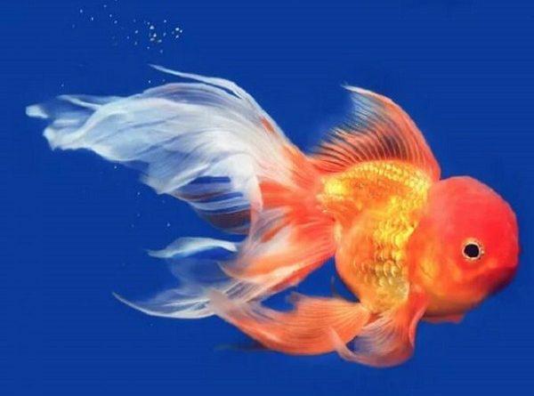 Nằm mơ thấy cá vàng là điềm gì? Đánh lô đề con nào?