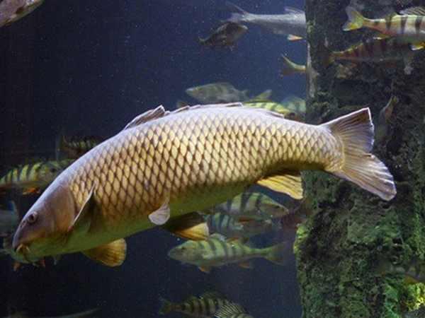 Giải mã nằm mơ thấy cá trôi là điềm báo gì