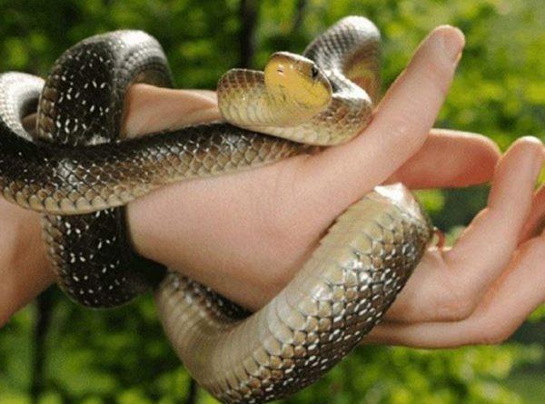 Mơ bắt được rắn là điềm báo gì, đánh con xổ số nào?